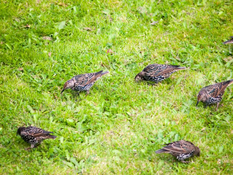 Close up of starlings on the grass outside in garden eating. Essex; England; UK royalty free stock images