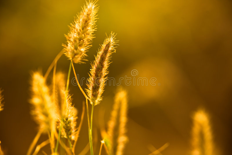 Close-up stem of wheat stock image