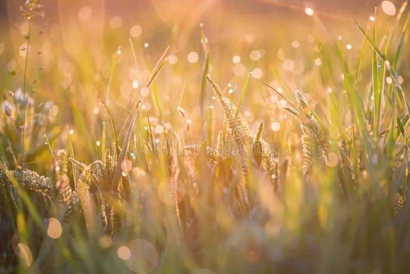 Beautiful background with morning dew on grass close. Close up steppe grass with drops of fresh morning dew for natural background stock image