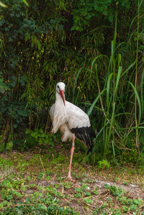 close-up stork standing on one leg in natural habitat stock photo