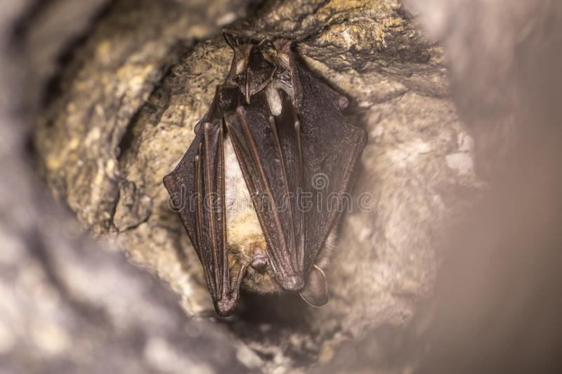 Close up strange animal Greater mouse-eared bat Myotis myotis hanging upside down in the hole of the cave and hibernating. stock image