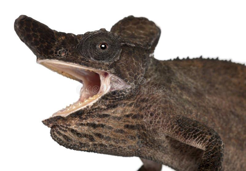 Download Close-up Of Strange-nosed Chameleon Stock Photo - Image: 21401782
