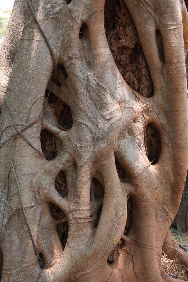 Free Close Up Strangler Fig Royalty Free Stock Photography - 73352767