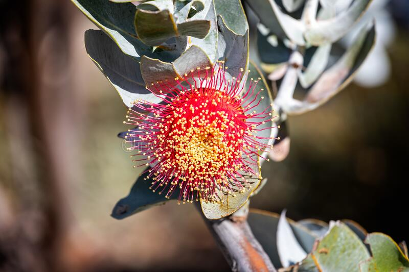 Close up of striking red gray or silver-barked eucalypts - Western Australia wildflower. In full bloom stock photos