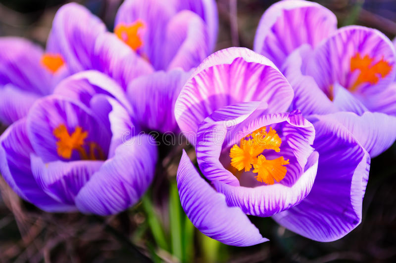 Close up of striped crocus on ground stock image