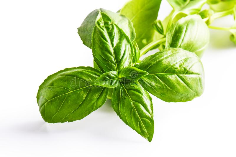 Close up studio shot of fresh green basil herb leaves on white background. Sweet Genovese basil.  royalty free stock photo