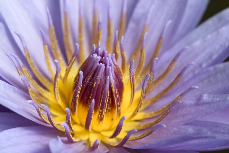 Close -up of a stunning water lily royalty free stock images