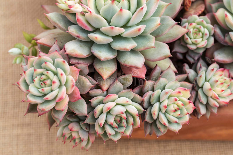 Close-Up Of Succulent Plant royalty free stock images