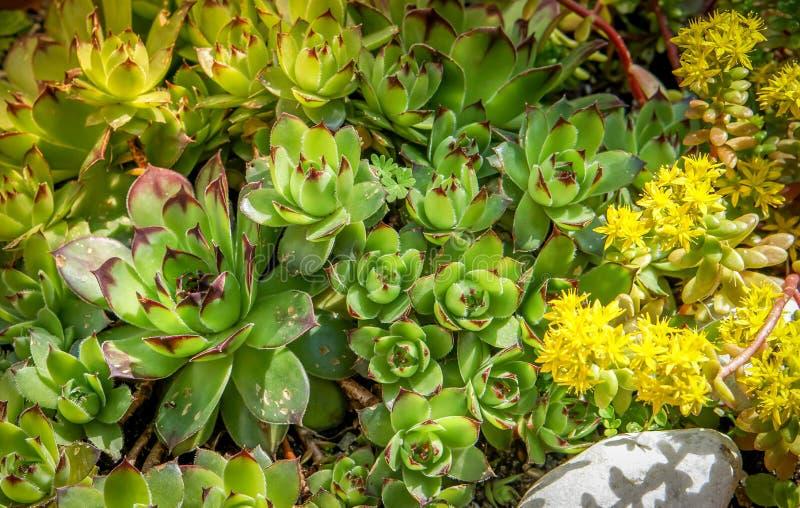 Close up suculento da planta do sedum com flores amarelas fotografia de stock