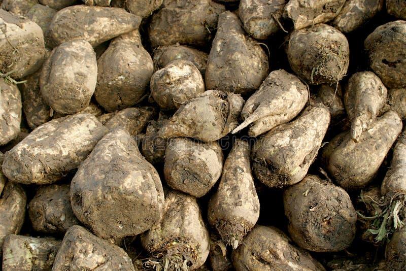 Close-up of sugar-beets royalty free stock image