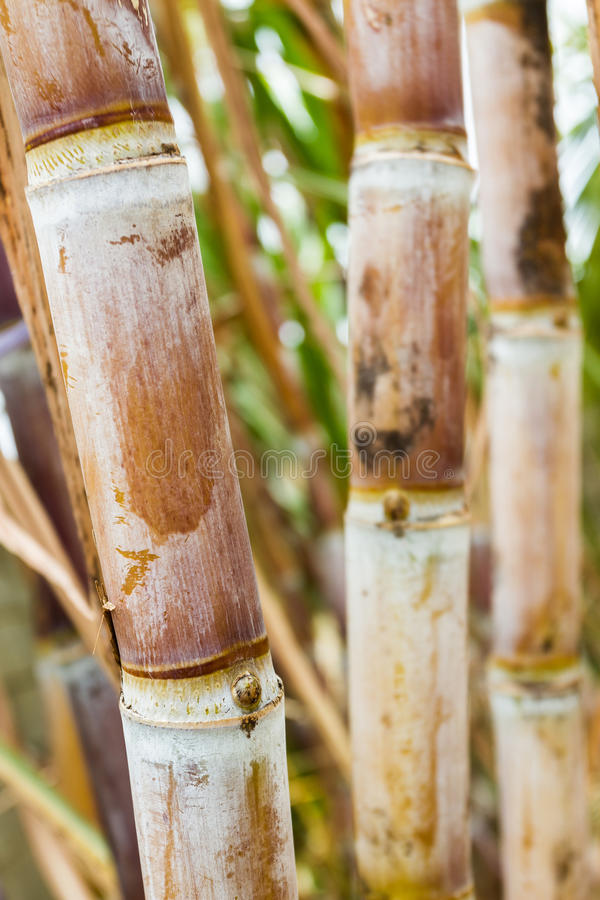 Close up sugar cane plants. stock photos