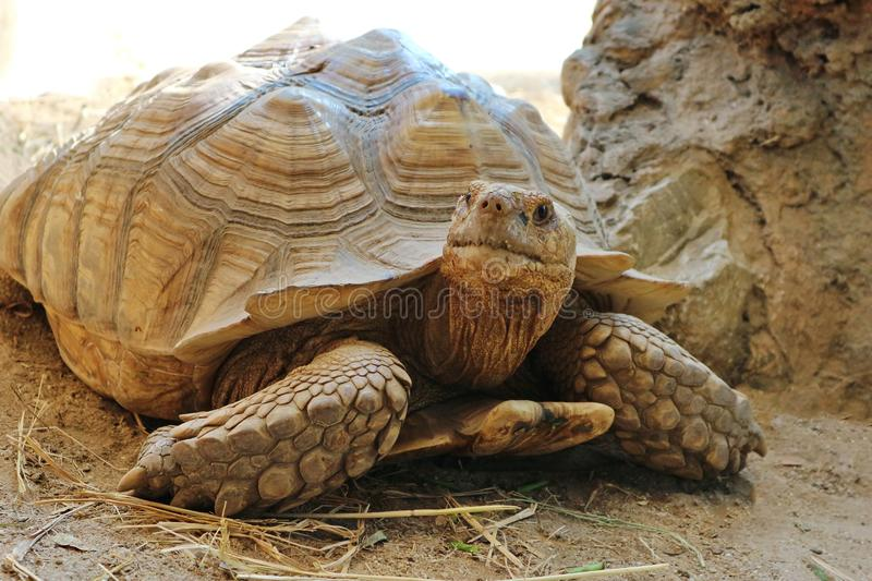Close Up A Sulcata Tortoise. On The Ground stock photos