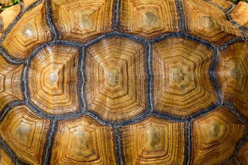 Close up Sulcata tortoise skin for animal skin royalty free stock photography
