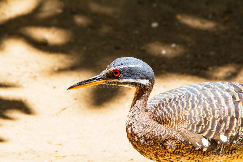 Close up Sunbittern brown bird with red eyes, Eurypygidae, tropical region of Americas stock photos