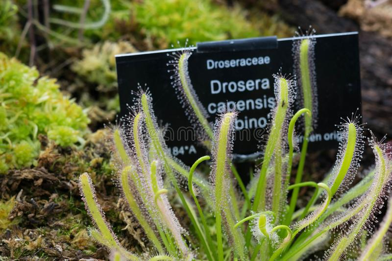 Drosera Capensis alba close-up view. stock photography