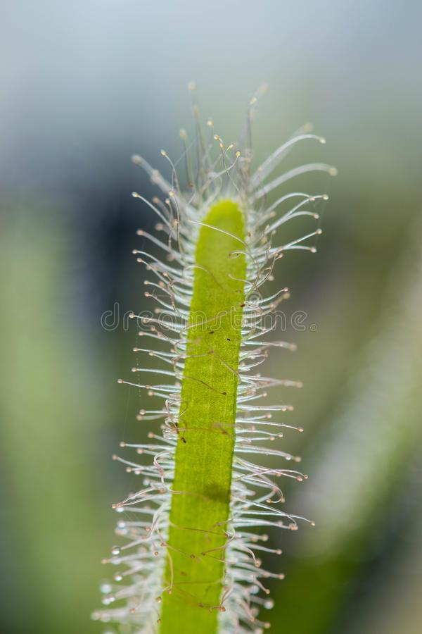 Drosera Capensis close-up view. royalty free stock photo