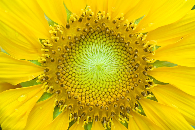 Close-up of sunflower royalty free stock image