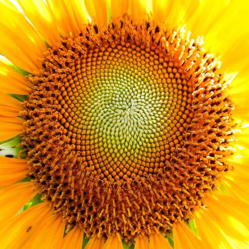 Close-up of a sunflower stock photos