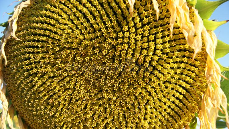 Close up of a sunflower beginning to show the seeds stock photo