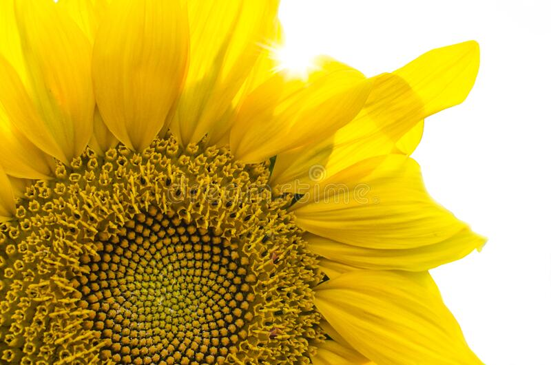 Close up of sunflower royalty free stock photos