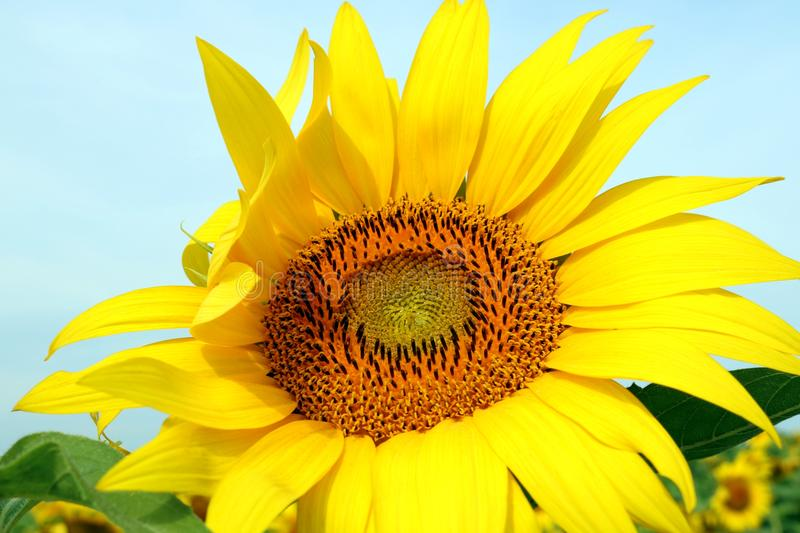 Close-up of a sunflower head stock photos