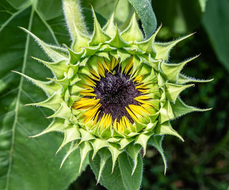 Close up of sunflower Helianthus sp head with opening bud of sunflower royalty free stock photography