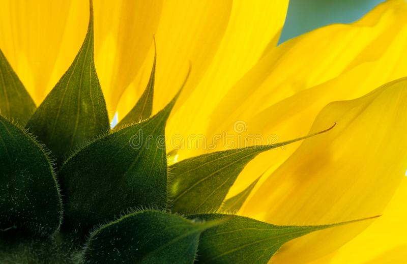 Close up of sunflower petals. Beautiful yellow sunflower petals from the back of the flower head royalty free stock photography