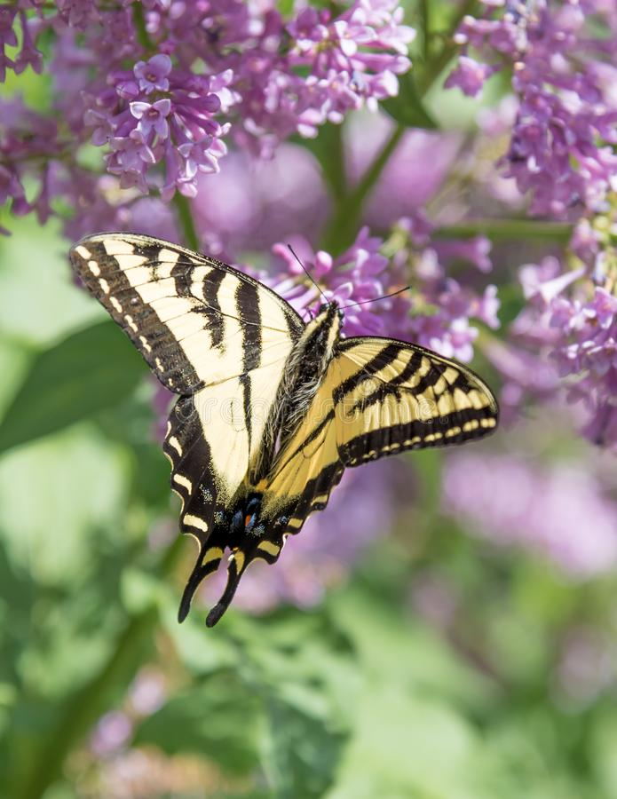 Close-up of swallowtail butterfly with wings open, feeding on purple lilac flowers royalty free stock photos
