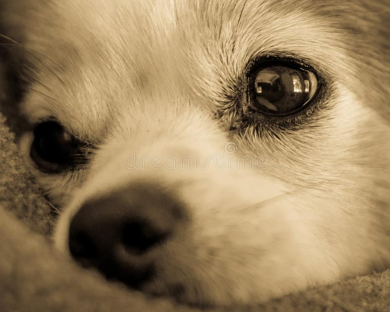 Close up of Sweet Dog`s Face royalty free stock photos