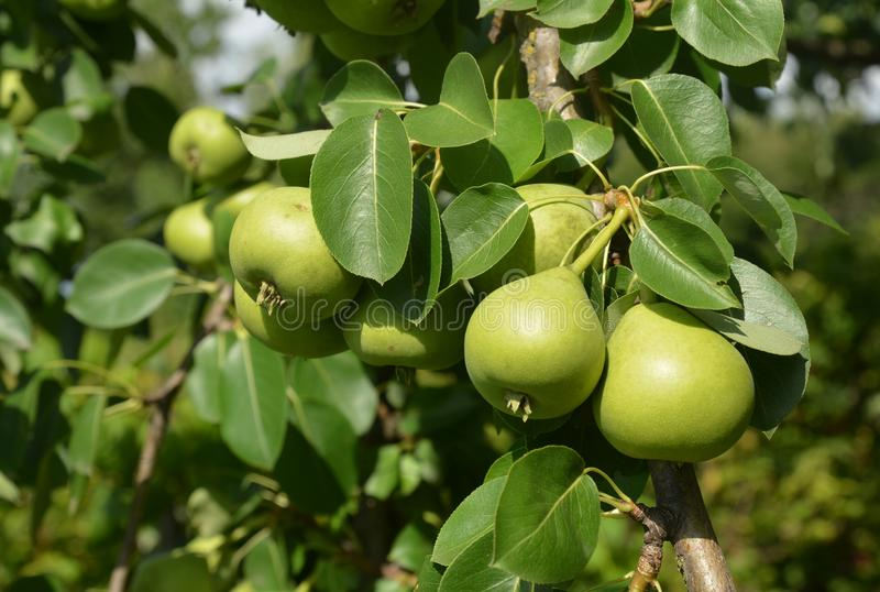 Close up on sweet green color pears harvest on the pear tree branch. Close up on green color pears harvest on the pear tree branch royalty free stock photo