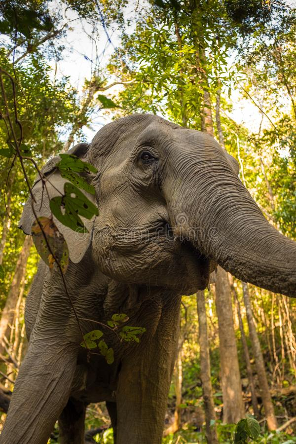 A close up taken from a low angle of Asian Elephant in the jungle in Thailand royalty free stock images