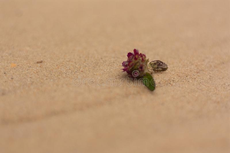 Close-up taken small red flower with green leaves on river sand royalty free stock photos