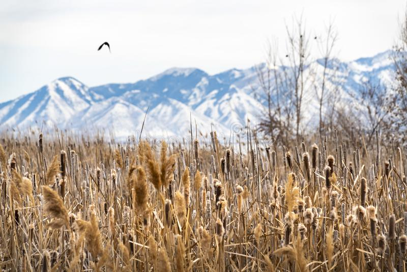 Close up of tall brown grasses against snow covered mountain in the background. A bird is flying over the scenic landscape on this sunny winter day royalty free stock images