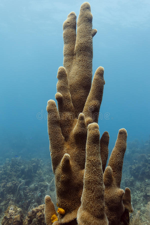 Close-up of a tall cluster of stove pipe tube sponges growing upright on the coral reef royalty free stock photos