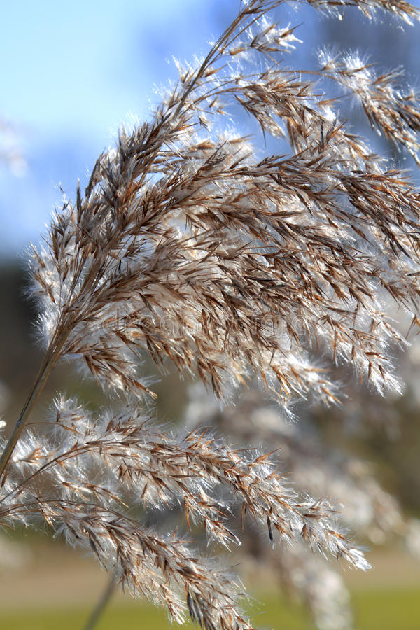 Close Up Of Tall Winter Feathery Grass Royalty Free Stock Images