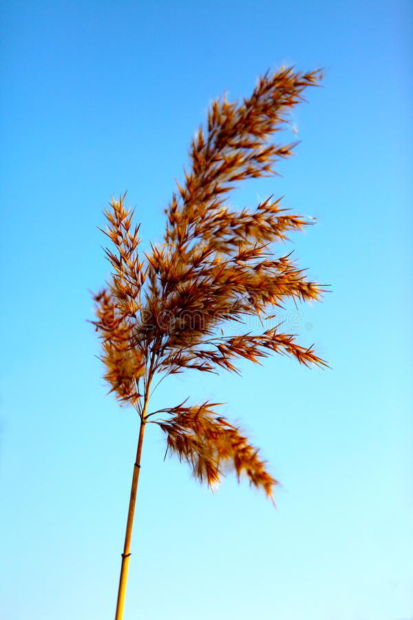 Download Close Up Of Tall Winter Feathery Grass Stock Photo - Image: 16347066