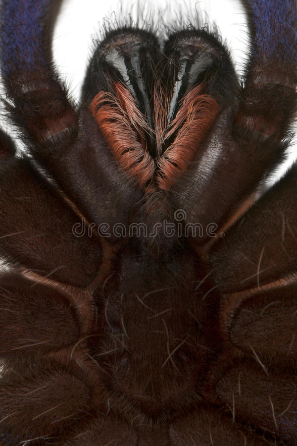 Download Close-up Of Tarantula Spider Stock Photo - Image: 18258410