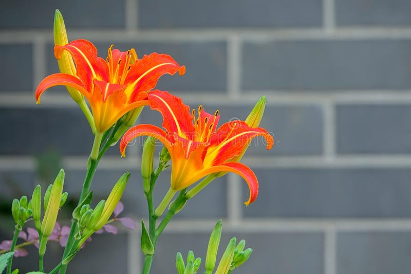 Tawny daylily flowers. The close-up of tawny daylily flowers in front of brick wall. Scientific name: Hemerocallis fulva stock image
