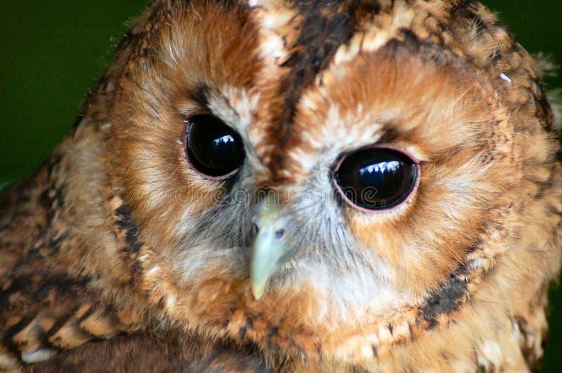 Tawny owl face royalty free stock photo