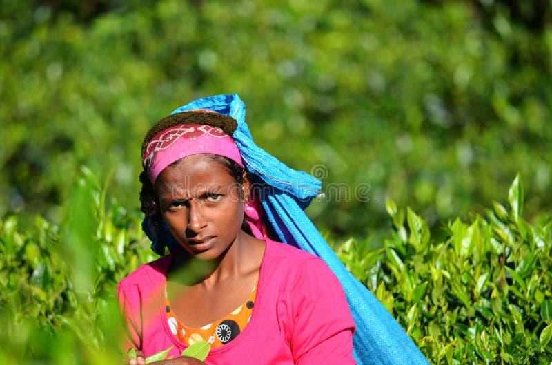 Close up of a tea picker, Sri Lanka stock images