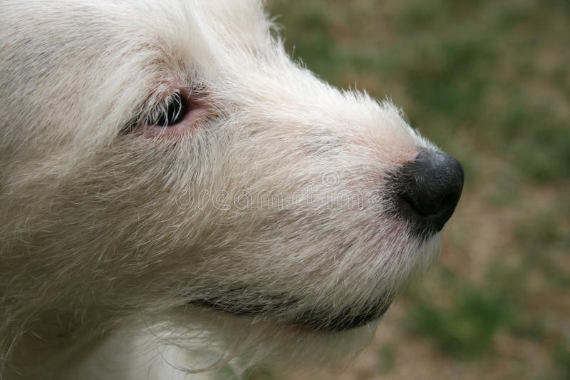 CLOSE UP OF TERRIER`S MUZZLE royalty free stock images