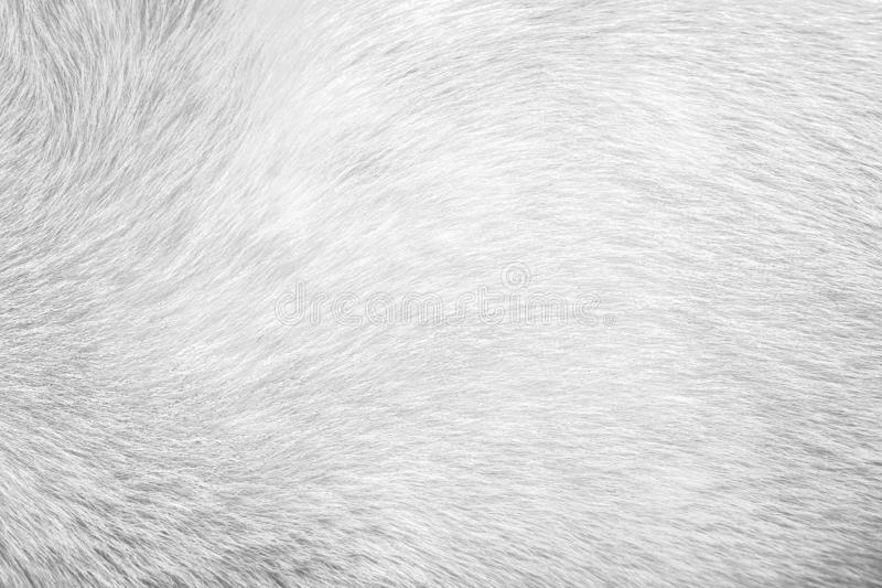 Texture fur gray dog for background,Natural animal patterns skin. Close up Texture fur gray dog for background,Natural animal patterns skin royalty free stock images