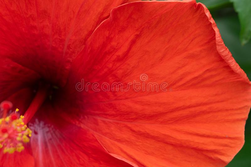 Close up texture of red hibicus flower, stock images