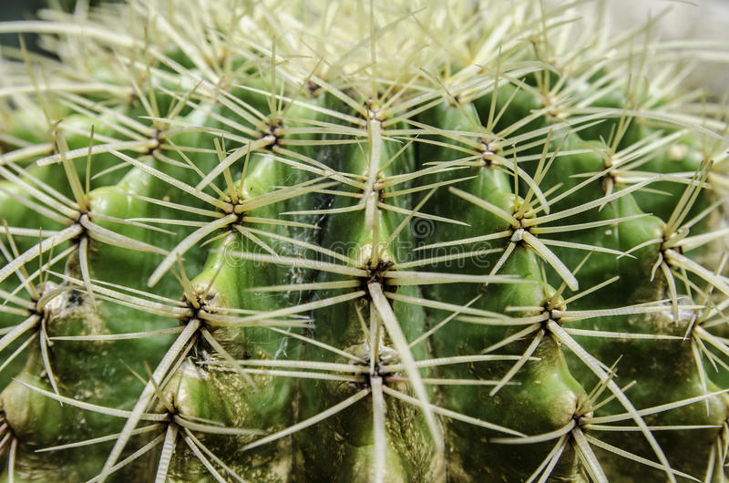 Close up textured of cactus plant royalty free stock photography