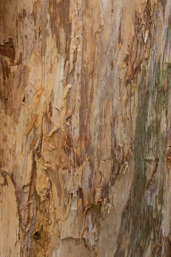 Close up textures of peeling bark on trunk of eucalyptus gum tree ideal as nature background. Close up textures of peeling bark on eucalyptus gum tree ideal as stock photography