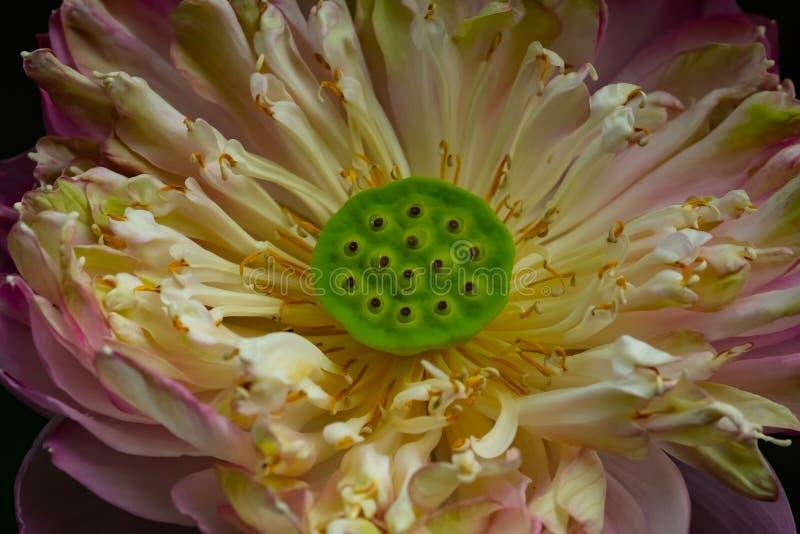 Close-up Thaise rode lotusbloem royalty-vrije illustratie