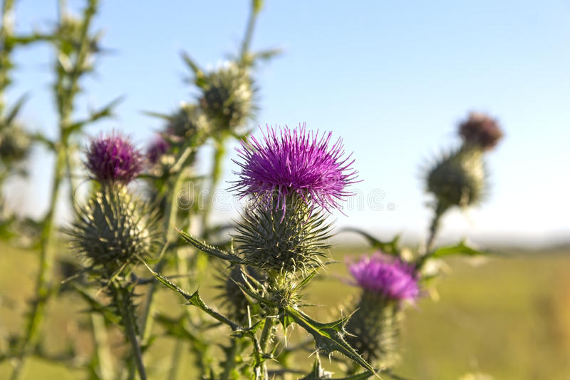 Close-up of a Thistle. (Onopordum acanthium) at the meadow stock photo