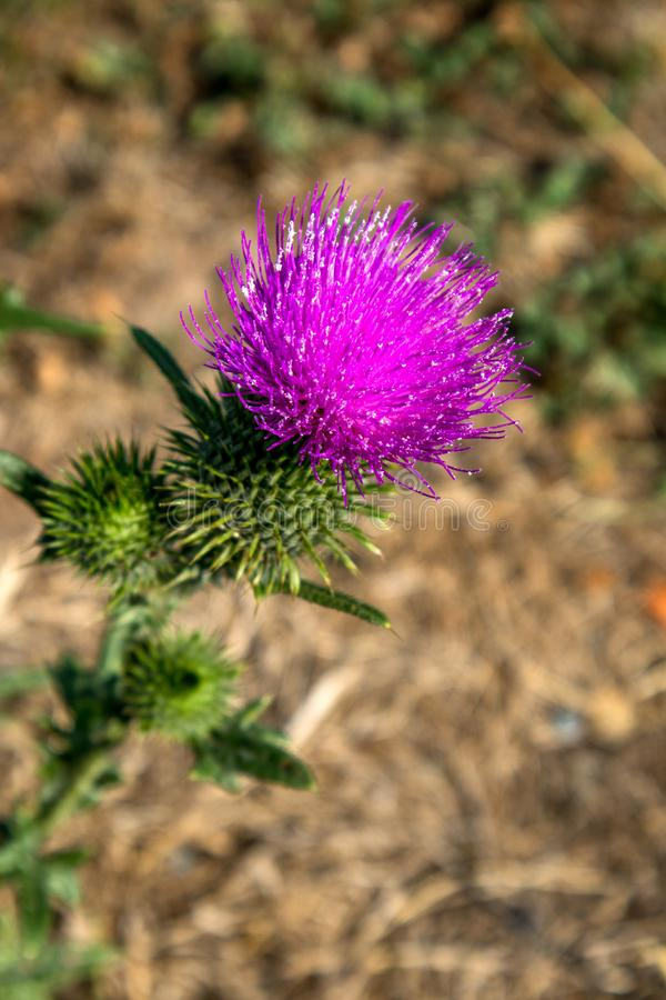 Close up thistle royalty free stock images