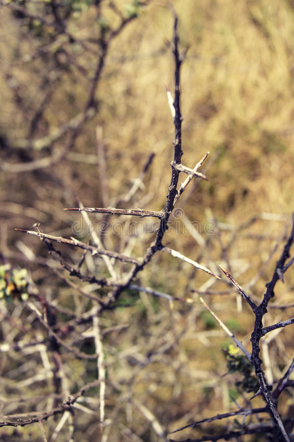 Close-up of thorn bushes. Close-up of sharp thorn bushes on a hot summer day in a coastal region royalty free stock image