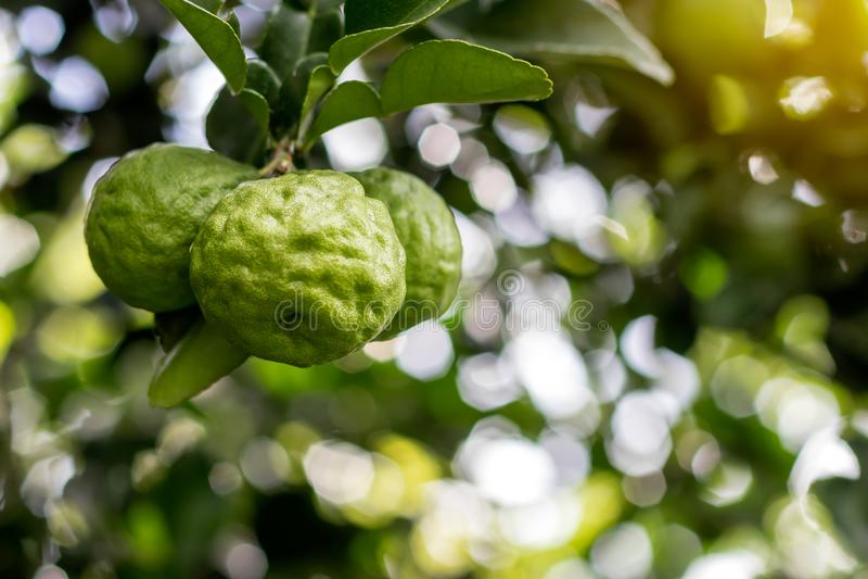 Three bergamot with blurred bokeh leaf. royalty free stock photos